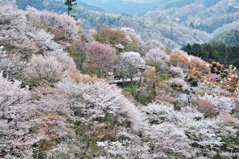 Osaka, Kyoto, Kansai Region – Famous sakura onsen spots with latest